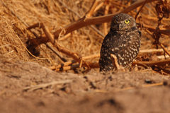 Burrowing Owl Outside Den. A Burrowing Owl looking back outside of its den in southern California Royalty Free Stock Image