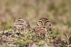 Burrowing Owl Pair. Two burrowing owls (athene cunicularia) in Cape Coral, Florida Royalty Free Stock Photos