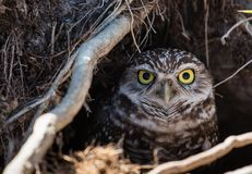 A burrowing owl peers out from its hiding place stock photography