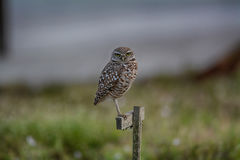 Burrowing Owl Perched Fotografia de Stock Royalty Free