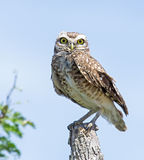 Burrowing Owl. Perched on a fence pole. Scientific Name: Athene cunicularia Stock Image