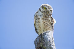 Burrowing Owl perched Royalty Free Stock Photography