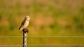 Burrowing Owl Perched su una posta con un topo aveva preso Fotografia Stock