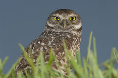Burrowing Owl portrait Royalty Free Stock Photography