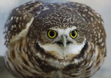 Burrowing Owl (portrait_4) Royalty Free Stock Photo