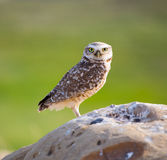 Burrowing Owl Portrait Royalty Free Stock Photo