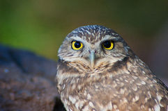 Burrowing Owl Portrait. A Burrowing Owl looking at the camera Royalty Free Stock Photos