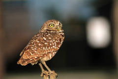 Burrowing owl portrait while perched. South florida burrowing owl standing up perched Royalty Free Stock Photo