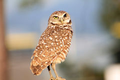 Burrowing owl portrait while perched. South florida burrowing owl standing up perched facing camera Stock Images