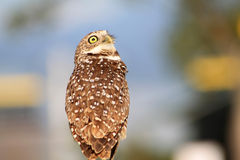 Burrowing owl portrait while perched. South florida burrowing owl standing up perched with weird look Stock Image