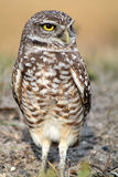 Burrowing owl portrait in quarter view on field. South florida burrowing owl standing up on field Royalty Free Stock Photo
