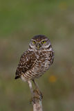 Burrowing Owl on post Stock Photography