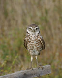 Burrowing Owl on post Royalty Free Stock Photos