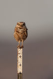 Burrowing Owl on Post Stock Photos