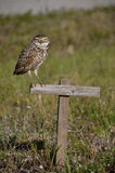 Burrowing Owl on a Post Royalty Free Stock Photo