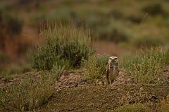 Burrowing Owl With Prairie Dog Stock Photos