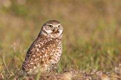 Burrowing owl with prey Athene cunicularia Stock Photo