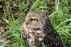 Burrowing owl in profile Royalty Free Stock Images