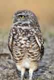 Burrowing owl in profile on field facing straight. South florida burrowing owl standing up on field Stock Photos