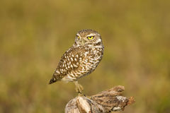 Burrowing Owl rests his feet. A Burrowing Owl resting on his perch just outside the burrow entrance Stock Photography