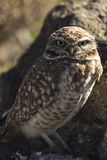 Burrowing Owl. On Rock staring at viewer Royalty Free Stock Images