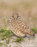 Burrowing Owl on sand Stock Photos