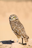 Burrowing Owl with the Serious Look Royalty Free Stock Image