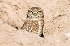 Burrowing Owl Royalty Free Stock Photography