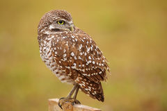 Burrowing Owl sitting on a pole Stock Images