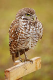 Burrowing Owl sitting on a pole Stock Photography