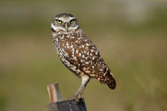 Burrowing Owl sitting on a wooden pole Stock Photos