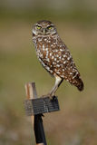 Burrowing Owl sitting on a wooden pole Stock Photography