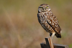 Burrowing Owl sitting on a wooden pole Stock Image