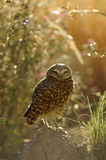 Burrowing Owl with Soft, Dreamy Background Royalty Free Stock Photography