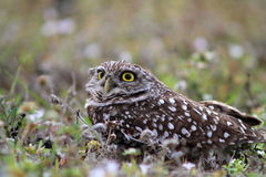 Burrowing owl. South florida burrowing owl lying down on field Royalty Free Stock Photos