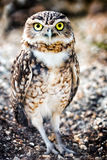 Burrowing Owl (Speotyto cunicularia) Stock Photos