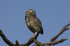 Burrowing owl, Speotyto cunicularia Stock Image