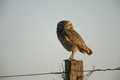 Burrowing owl, Speotyto cunicularia Stock Photography
