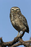 Burrowing owl, Speotyto cunicularia Royalty Free Stock Images