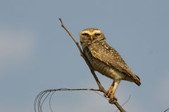 Burrowing owl, Speotyto cunicularia Stock Images