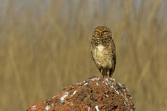 Burrowing owl, Speotyto cunicularia Royalty Free Stock Photography