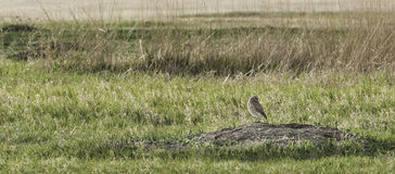 Burrowing Owl (Speotyto cunicularia) Stands on Its Burrow Royalty Free Stock Photography