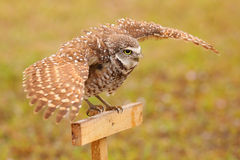 Burrowing Owl spreading wings in the rain Royalty Free Stock Images