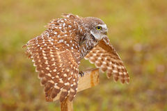 Burrowing Owl spreading wings in the rain Royalty Free Stock Image