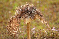 Burrowing Owl spreading wings in the rain Stock Image