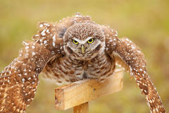 Burrowing Owl spreading wings in the rain Stock Images