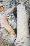 Burrowing Owl stand on the tree hole royalty free stock photography