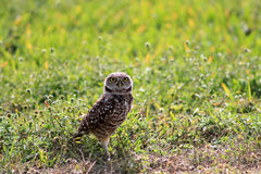 Burrowing owl standing on field facing straight. South florida burrowing owl standing up on field Stock Photography