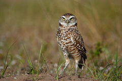 Burrowing Owl standing on the ground Royalty Free Stock Image