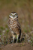 Burrowing Owl standing on the ground Royalty Free Stock Photos